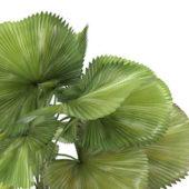 Plant Dwarf Areca Palm Tree