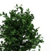 Green Dwarf Evergreen Shrubs