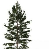 Eastern White Pine Green Tree