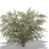 Elaeagnus Umbellata Garden Plant