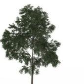 Nature English Walnut Tree