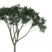 Eucalyptus Green Tree