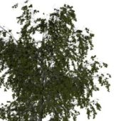 Nature Eurasian Aspen Tree