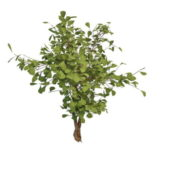 Nature Evergreen Holly Shrubs Tree