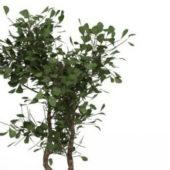 Evergreen Huckleberry Bush Tree