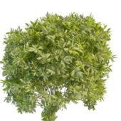Garden Evergreen Shrubs