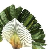 Garden Fan Palm Tree