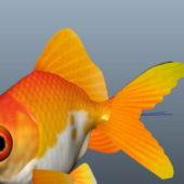 Fancy Goldfish Animal
