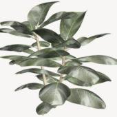 Ficus Elastica Rubber Nature Plant