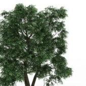 Field Elm Green Tree