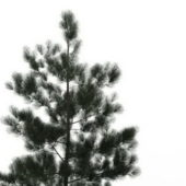 Western Fraser Fir Tree
