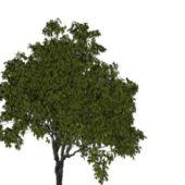 Garden French Elm Tree