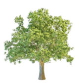Oak Tree Plant