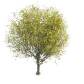 Germaanygreen Cherry Tree