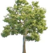 Nature Giant Ash Tree