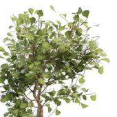 Maidenhair Ginkgo Biloba Tree
