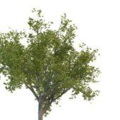 Nature Ginkgo Tree