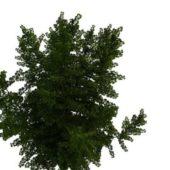 Nature Green Ginkgo Tree