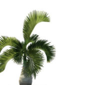 Hyophorbe Lagenicaulis Palm Tree