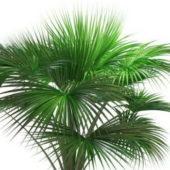 Wild Indian Fan Palm Tree