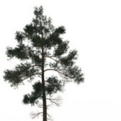 Nature Jack Pine Tree