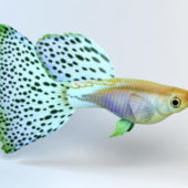 Japanese Guppy Fish