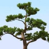 Japan Pine Tree