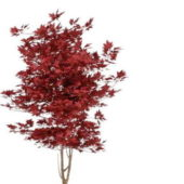 Japan Red Maple Tree