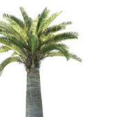 Jubaea Chilensis Palm Tree