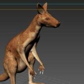 Australian Kangaroo Animal