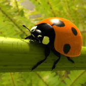 Ladybird Beetle Animal