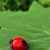 Ladybugs Beetle Wild Animal