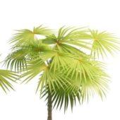 Green Latania Fan Palm Tree