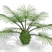Garden Latania Palm