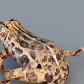 Wild Leopard Frog