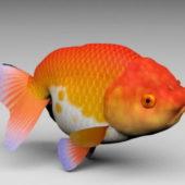 Lionhead Goldfish Animal