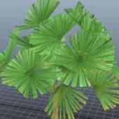 Mangrove Fan Palm Tree