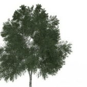 Green Mexican Ash Tree