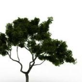 Nature Cypress Tree