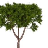 Moroccan Cypress Green Tree