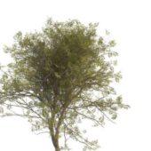 Green Mountain Ash Tree