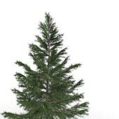 Wild Norway Spruce Tree