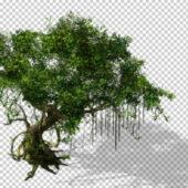 Plant Banyan Tree