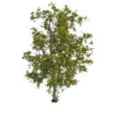 Nature Old G Aspen Tree
