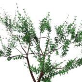 Wild Olea European Tree