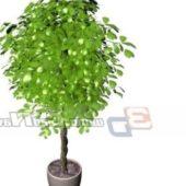 Indoor Pachira Aquatica Potted Plant