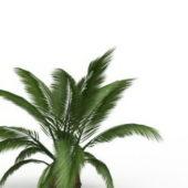 Phoenix Canariensis Tree Plant