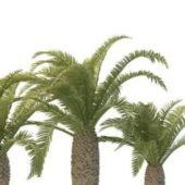 Mid Eastern Phoenix Palm Trees