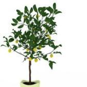 Green Potted Kumquat Plant