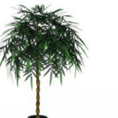 Potted Green Money Tree